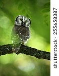 Small photo of Small bird Boreal owl, Aegolius funereus, sitting on the tree branch in green forest background