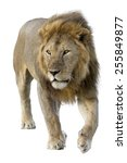 male wild african lion in white ... | Shutterstock . vector #255849877