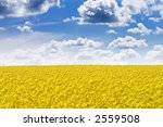 Rapeseed field and blue sky with fluffy clouds - stock photo