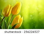 Stock photo closeup of fresh tulip flowers on green background 256226527