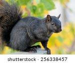 Black Squirrel Resting On...