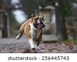 Crazy English Bulldog Puppy...