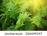 vintage photo of fern shrubs.... | Shutterstock . vector #256449247