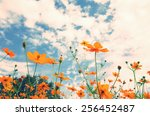 beautiful cosmos blooming in... | Shutterstock . vector #256452487