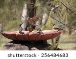 Small photo of Flock of Spiny-cheeked Honeyeaters, Acanthagenys rufogularis, at bird bath