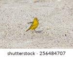 Small photo of American Yellow Warbler, Setophaga petechia, on sand
