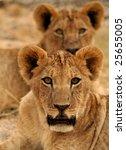 lion cubs | Shutterstock . vector #25655005