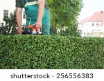 A Man Trimming Hedge In City...