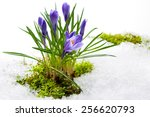 Spring Crocuses In Melting Snow