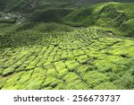 Постер, плакат: Tea plantation at the