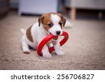 Stock photo puppy jack russell terrier dog portrait on a studio background 256706827