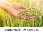 hand touching rice in a paddy...   Shutterstock . vector #256821943