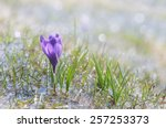 First Spring Crocus Flower In...