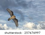 Lammergeyer Vulture Buzzard...