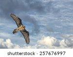 Lammergeyer Vulture Buzzard...