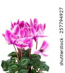cyclamen in a flower pot. close ... | Shutterstock . vector #257794927