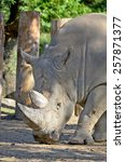 ������, ������: Rhinoceros also known as