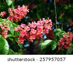 Red Flowers Of Chestnut Tree I...