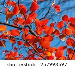 Red Leaves Of A Tree On A...