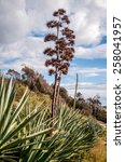 Small photo of Sisal (Agave sisalana) is a plant of the family Asparagaceae.It is the most important of the leaf fibre plants. The plant is native to Central America.The sisal fibre is used for rope and twine