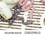 Corn Snake Hatching