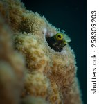 Small photo of Secretary Blenny (Acanthemblemaria maria) Front Porch dive site, Bonaire, Netherlands Antilles