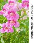 pink trumpet vine  pododranea...   Shutterstock . vector #258443957