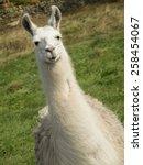 Llama's Derbyshire Uk