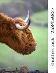 Small photo of Aberdeen Angus cow,derbyshire,uk