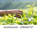 man holding tea leaves in tea... | Shutterstock . vector #258666737
