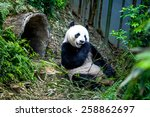 Hungry Giant Panda Bear Eating...