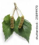 Seed Of Birch