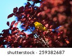 Small photo of An American Yellow Warbler (Dendroica petechia) peers from a purple-leaf plum tree in an Arizona community park.