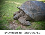 Aldabran Seychelles Giant...
