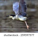 Black Crowned Night Heron