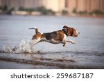 Dog Breed  Beagle Playing In...