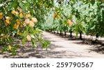Almond Nuts Tree Farm...