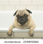 Wet Pug In The Bathroom