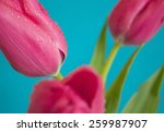 Beautiful Tulips Isolated On...