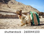 camel sitting in egypt. camel... | Shutterstock . vector #260044103