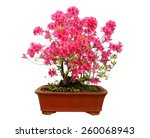 Red Azalea Bonsai Isolated On...