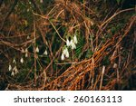 snowdrops in the forest | Shutterstock . vector #260163113
