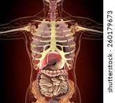 anatomy of human organs in x... | Shutterstock . vector #260179673