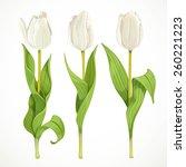 Three Vector White Tulips...