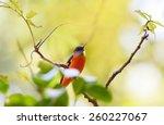 beautiful bird  short billed... | Shutterstock . vector #260227067