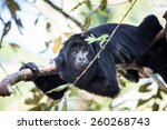 Small photo of A Black Howler monkey (Alouatta pigra) rests in the jungle canopy of Belize. Black howlers, found in Mexico, Guatemala, and Belize, are folivorous, eating mostly leaves and occasional fruits.