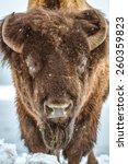 Small photo of American Bison Portrait. American Buffalo Closeup. Colorado, United States.