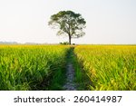 Lone Tree Covered With Paddy...