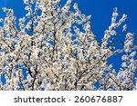 Cherry White Blossoms