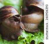 Huge Snail Achatina On Lettuce